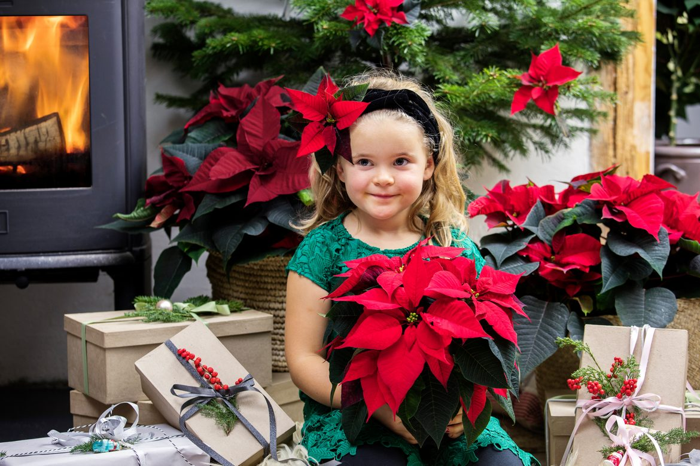 Weihnachtsstern im Nusstopf zum 2. Advent