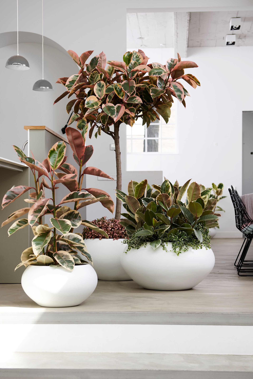 Der Ficus macht in weißen, runden Töpfen eine hervorragende Figur