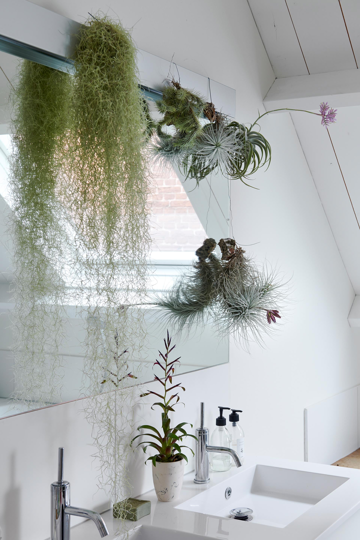 Tillandsien im Badezimmer