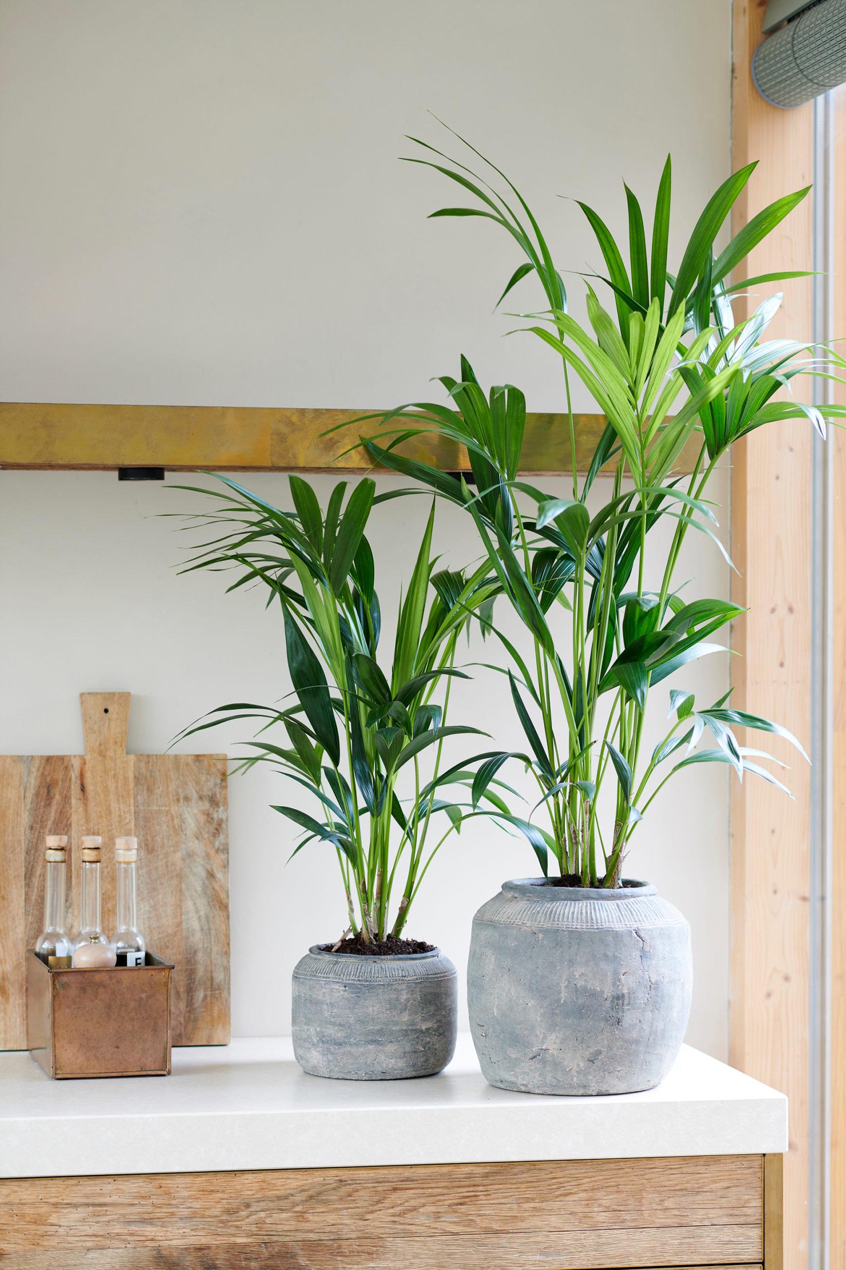 Grüner Frischekick dank der Kentia-Palme
