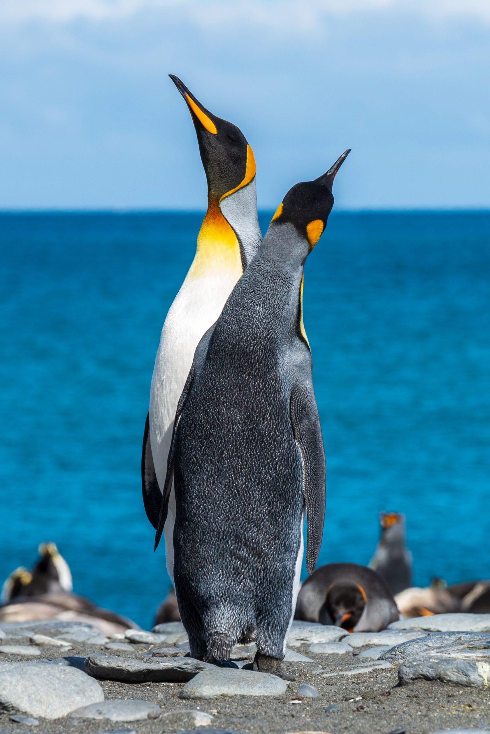 Nicht nur die Königspinguine Südgeorgiens und der Südlichen Sandwichinseln leiden unter der Erderwärmung